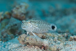 BD-100924-Fury-Shoal-2274-Parapercis-hexophthalma-(Cuvier.-1829)-[Speckled-sandperch].jpg